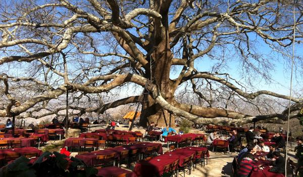 الشجرة التاريخية في بورصة