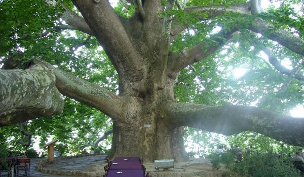 الشجرة التاريخية المعمرة في بورصة